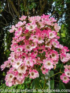 Buffet, Wordpress, Roses, Plants, Midsummer Nights Dream, Roses Garden, Pink, Buffets, Rose