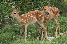 """""""Watch My Back?"""" - White-tail fawns, late Spring in Central Texas."""