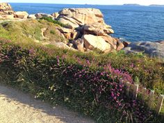 Heather lines the trail along the Ploumanac'h coast in Brittany. A great place to run!