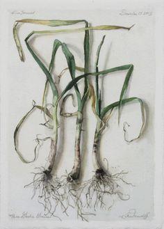 Katie Musolff, THREE GARLIC GRACES, Watercolor on Paper