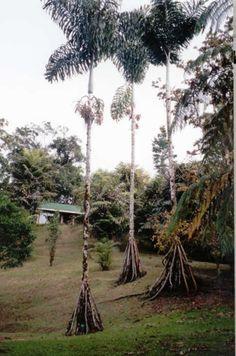 Socratea exorrhiza (Stilt Palm)