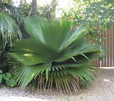 Photo of Cuban Petticoat Palm (Copernicia macroglossa). Photo Location: Southeast Florida on March Caption: A gorgeous example of this striking palm from Cuba. Palm Trees Landscaping, Florida Landscaping, Tropical Landscaping, Landscaping With Rocks, Florida Gardening, Unique Trees, Unusual Plants, Exotic Plants, Tropical Plants