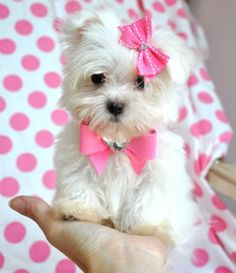 Teacup Maltese.   (KO)  Itty bitty pup. A girly pup. With pink bows. Totally portable.