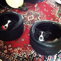 Pillow and Tractor in their new beds : BorderCollie