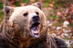 Braunbär Cumberland Wildpark Grünau Brown Bear, Animals, Good Photos, Image Editing, Photographers, Get Tan, Animales, Animaux, Animal
