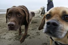 """Professional dog walker Angela Gardner who works under the company name """"All About Paws"""", walks a group of dogs on on a section of East Beach that will be totally off limits for dogs when new Golden Gate National Recreation Area dog management plans go into effect next year, at Crissy Field in San Francisco, CA, on Thursday, December 8, 2016. Photo: Michael Short, Special To The Chronicle"""