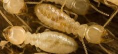 Real-World Home Termite Control Advice Uncovered	  https://termitcontrolsydney.wordpress.com/2015/09/03/home-termite-control/