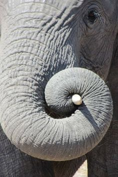 Elephant's curly trunk
