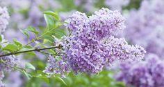 Flieder: Alter Blütenstrauch – neu entdeckt - Mein schöner Garten