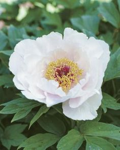 Tree Peonies Blossom in Dappled Shade - These easy-to-grow shrubs add romance and fragrance to the garden Tree Peony, Fine Gardening, Peonies Garden, Dream Garden, Shrubs, Fragrance, Romance, Backyard, Rose