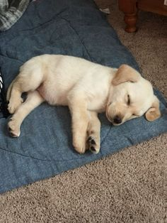 Mind Blowing Facts About Labrador Retrievers And Ideas. Amazing Facts About Labrador Retrievers And Ideas. Lab Puppies, Cute Puppies, Cute Dogs, Dogs Golden Retriever, Retriever Puppy, Labrador Retrievers, Golden Retrievers, Pet Puppy, Dog Cat