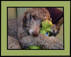 As a 3 year old rescue, Cassie knew nothing about toys but soon learned to claim her own! I Love Dogs, Puppy Love, Dog Dye, Silver Poodle, Red Poodles, Tea Cup Poodle, Weird Pictures, Pet Birds, Best Dogs