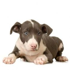 Pit Bull puppy ready to pounce Dog Names Male, Boy Dog Names, Bulldog Puppies, Dogs And Puppies, Doggies, American Staffordshire Terrier Puppies, Staffy Pups, Pitbull Facts, Dog Store