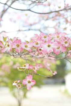 Dogwood in bloom. Pink sweet spring how quickly you fade. Pink Dogwood, Dogwood Trees, Pink Flowers, Dogwood Flowers, Flowering Trees, Spring Blossom, Spring Has Sprung, Something Beautiful, Spring Time