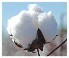 Cotton--My daddy grew up on a cotton farm in central Louisiana.  I sure miss him and all the stories he told.