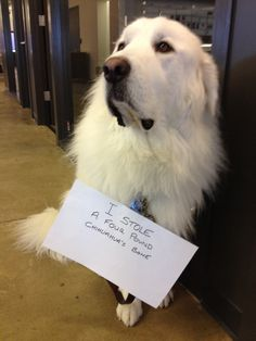 """I stole a 4 pound Chihuahua's bone."" ~ Dog Shaming shame - Great Pyrenees (95-120 pds average)"