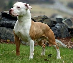 Real American pit bull terrier