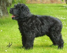 Russian Terrier I Love Dogs, Puppy Love, Black Russian Terrier, Puppy Pictures, Dog Breeds, Dogs And Puppies, Amazing, Animals, Grey Hair
