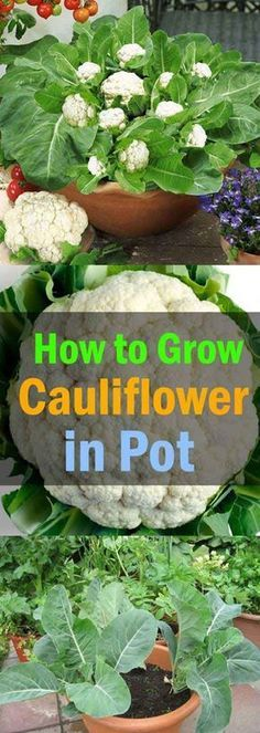 Do you dream of harvesting your own homegrown fruits and veggies, but don't have a garden with enough space to grow them? It is an often-made mistake a garden requires a large space. Actually, planting vegetables and fruits in containers is a practical way to let you have tasty, homegrown foods. You can arrange this [...]