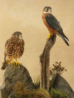 Merlin Birds (Pair)