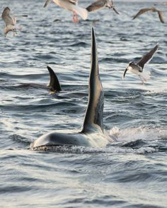 www.pegasebuzz.com | Orca, orque, killer whale, black fish. Taken off Hillesøy, Norway by Hjalmar S. Westgard.