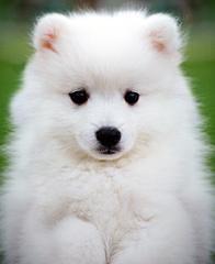 samoyed. so white and fluffy.