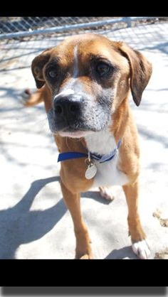 This adorable little girl is Sheryl.  She came to the humane society as a cruelty/neglect case.   She did test heart worm positive so she has to go through the lengthy treatment.  We are accepting applications for her adoption, although she isn't quite ready to go to a home yet.  If you're interested in meeting her, stop on out to the humane society!