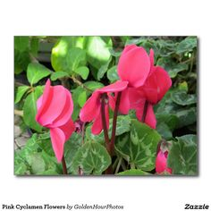 Pink Cyclamen Flowers Postcard