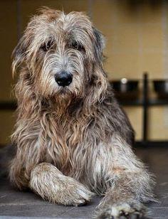 Large Dog Breeds-Irish Wolfhound