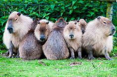 Not Looking ... Amusing group of Capybara sheltering from the rain at the zoo