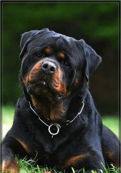 Beautiful Rottweiler - Power!