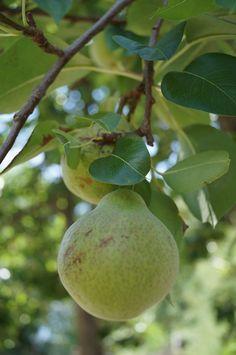"""""""Peras"""" se consigue en Sandias Tepehuanes en el verano, una de las frutas muy sabrosas que se dan en ese lugar"""". ( Tienes Que Probarlas )"""