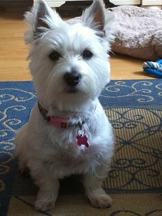 This is Delta all grown up and I love her more than anything. I wish I could go through the puppy days again but Miss Delta still keeps me on my toes. If you know a Westie then you know what I mean!!