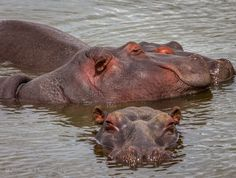 Hippo pod - The common hippopotamus is semiaquatic, inhabiting rivers, lakes and mangrove swamps, where territorial bulls preside over a stretch of river and groups of five to thirty females and young. During the day, they remain cool by staying in the water or mud; reproduction and childbirth both occur in water. They emerge at dusk to graze on grasses. While hippopotamuses rest near each other in the water, grazing is a solitary activity and hippos are not territorial on land.