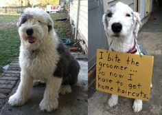 Dog Shaming - I bite the groomer  LMAO My dog does this too so now I have to cut his hair & he bites me.