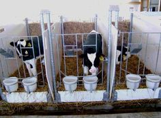 Our ultimate calf stall, although we would provide two calves per stall and much larger for their comfort. This way they can stay social, happy and warm. the gate however is ideal for feeding them twice a day.