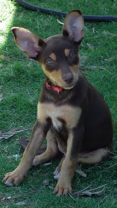 Australian Kelpie Dog- one day I'll grow into my ears Australian Shepherds, Australian Sheep Dogs, West Highland Terrier, Scottish Terrier, Cute Puppies, Dogs And Puppies, Pet Dogs, Dog Cat, Rottweiler