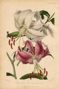 Lilies, antique engraving, hand colored