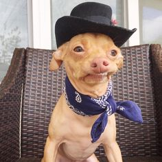 Homeboy knew we would be driving through Nashville, so he made sure that he packed his amazing top hat, vintage bandana and perfection of a lip curl. Funny Dog Memes, Funny Animal Memes, Funny Dogs, Cute Dogs, Funny Animals, Cute Animals, Animal Fun, Cute Dog Pictures, Funny Animal Pictures