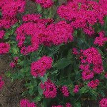 Image result for Silene Flower