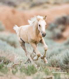 Palomino Foal Runs Fine Art Wild Horse by WildHoofbeats on Etsy
