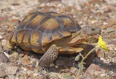 La tortuga del desierto o tortuga de California, es una de las tortugas terrestres, y el nombre común de cuatro especies de tortugas naturales de América del norte.   La tortuga del desierto adulta del sureste de Estados Unidos pesa unos 4 kg., y su concha, parda y abovedada, mide hasta 40 cm. de longitud. Sus patas delanteras están adaptadas para la excavación, son aplanadas y están cubiertas de pesadas escamas.