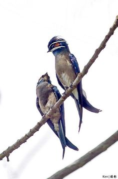 33 Best Treeswift Treeswifts Bird Whiskered Grey Rumped Crested
