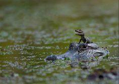TEHEHEHEHEHEHEHEHEHE I dare one of you to tell me alligators aren't cute now!!!