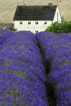 An English lavender field