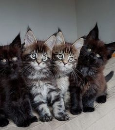 Trends Ideas Maine Coon Cats And Kittens For Sale If you are looking for Maine coon cats and kittens for sale you've come to the right place. We have collect images about Maine coon cats and kittens f. Pin On Maine Coon Cat Pretty Cats, Beautiful Cats, Animals Beautiful, Cute Kittens, Cats And Kittens, Baby Kittens, Big Cats, Grand Chat, Baby Animals