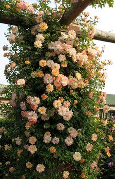 'Phyllis Bide' rambler is a wonderful pillar rose