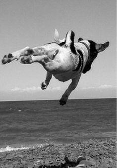 Jack Russell in flight