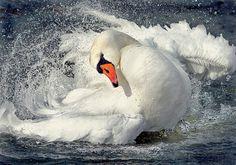 Немного про лебедей... Самые красивые птицы на земле ...Прощаюсь с лебедями до весны.... Обсуждение на LiveInternet - Российский Сервис Онлайн-Дневников