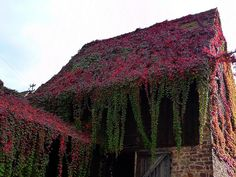 Old Barn in Europe covered with Virginia Creeper.
